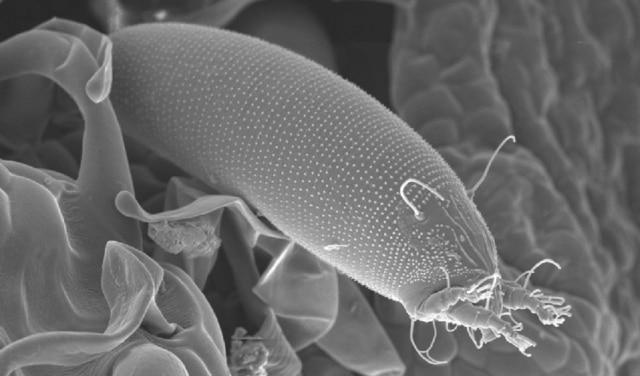 Whitetop gall mite