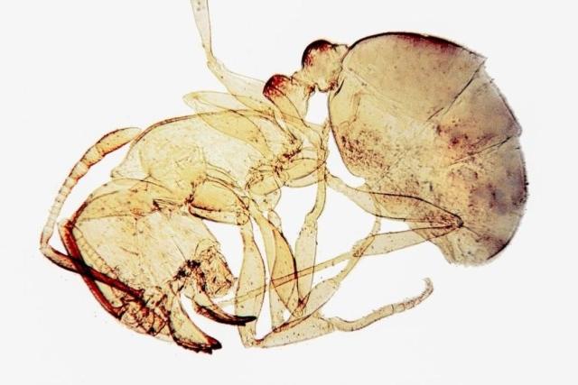 Doryline ant