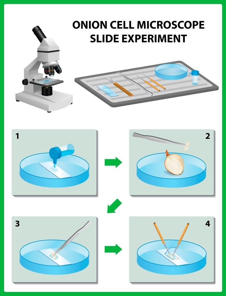 steps by steps guide for observing onion cells