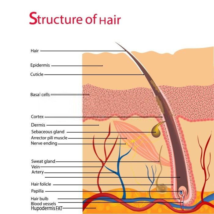 Structure of Hair Under Microscope